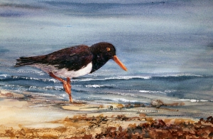 pied oyster catcher