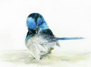 Superb Blue Wren preening
