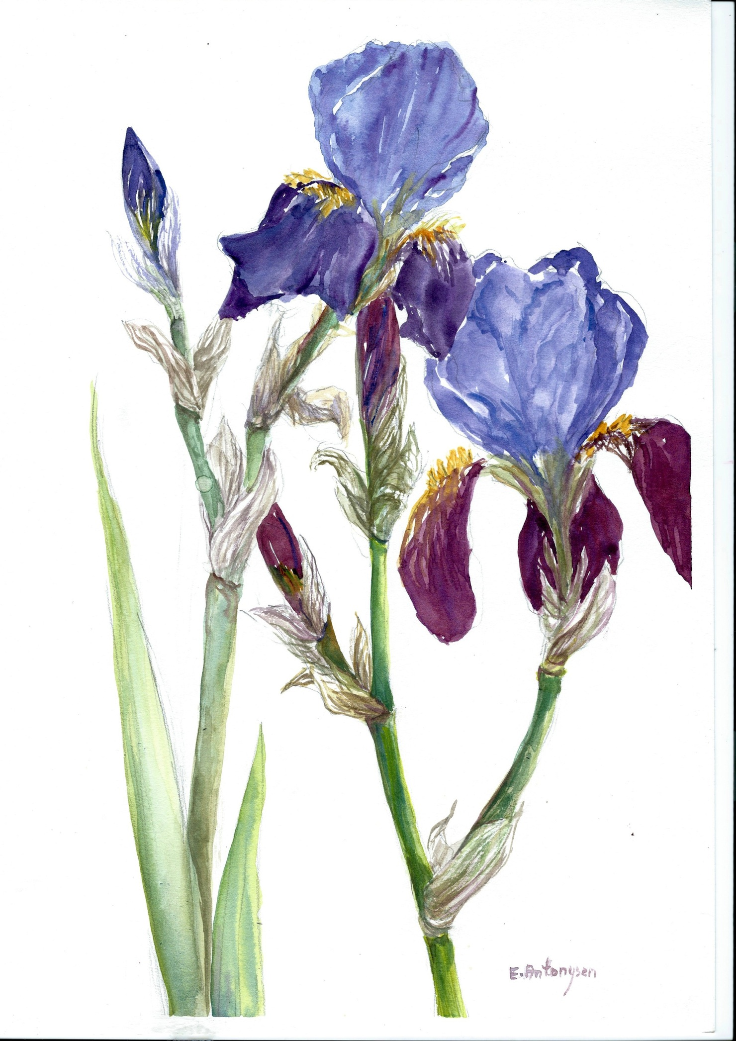 Pictures Of Iris Paintings