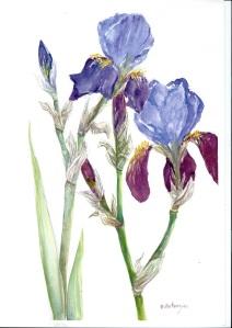 Iris, watercolour
