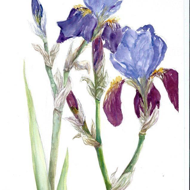 Iris, watercolour