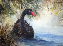 Afternoon swim, Black swan