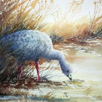 Supper time, Cape Barren Goose copy
