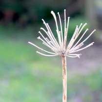 Skeleton (agapanthus)