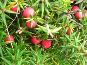 Leptecophylla juniperina